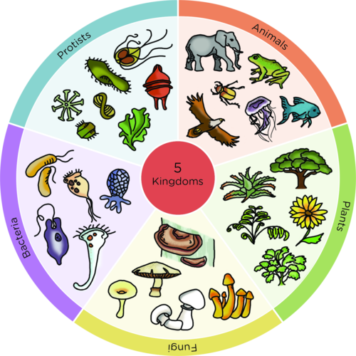 five kingdom classification Biologists prefer such a system that can provide maximum information about the basic differences and similarities among different organisms according to earlier classification system, organisms were classified into two kingdoms but now taxonomists agree on five kingdom classification system.