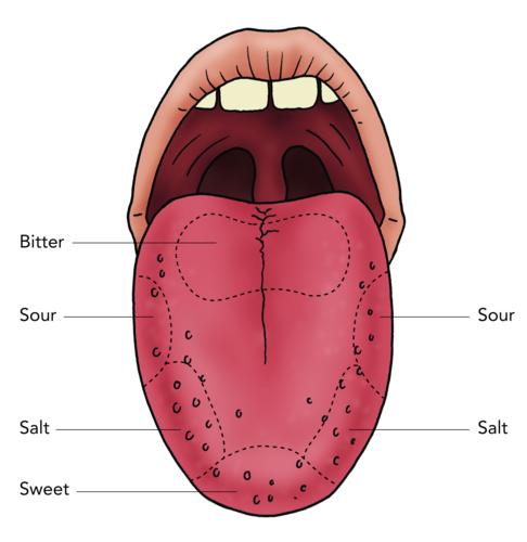 Label Taste Bud Diagram Tongue Diagram ~ Elsavadorla