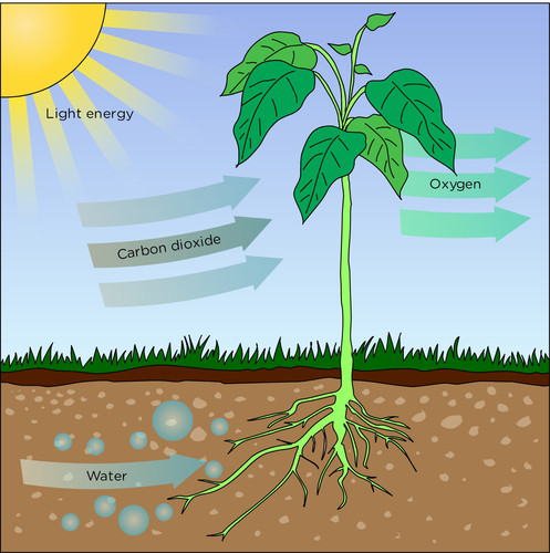 Natural sciences grade 8 look at the following diagram which summarises the process of photosynthesis plants use radiant energy from the sun in a ccuart Gallery