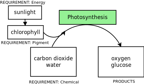What are the two main products of photosynthesis?