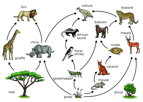 Longest Natural Food Chain