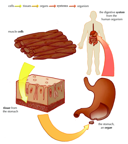 animal tissues and organs relationship