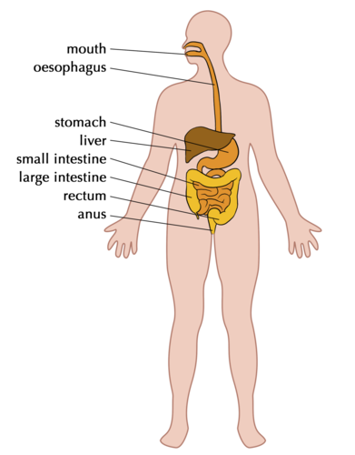 Natural sciences grade 9 components of the digestive system ccuart Images