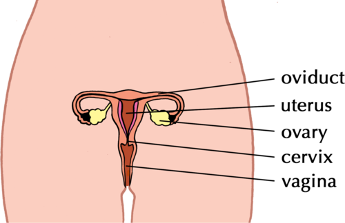 Natural sciences grade 9 female reproductive organs ccuart Image collections
